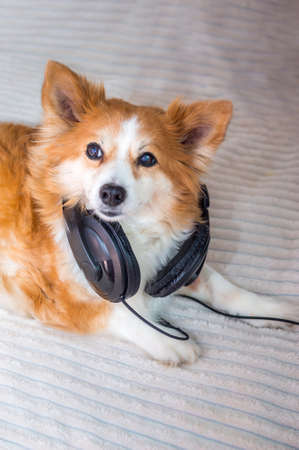 Funny dog listening to music on headphones. Vertical photo