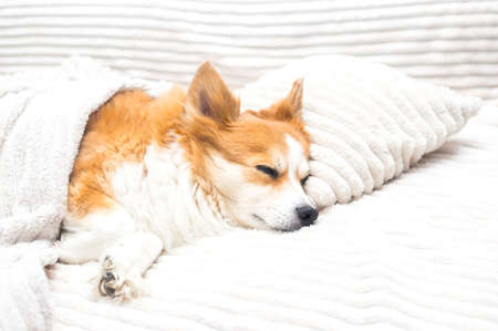 dog sleeps in bed on a pillow under a blanket Banco de Imagens