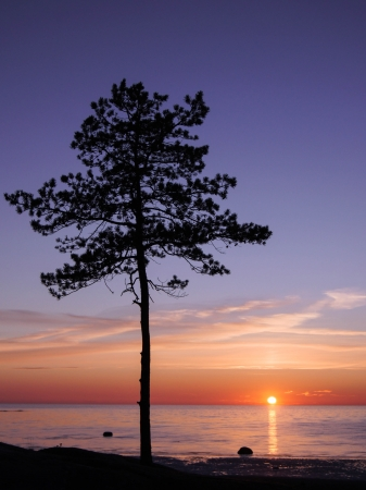 Silhouette of Pine Tree and Sunset on the White Sea