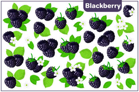 Set of vector cartoon illustrations with Blackberry exotic fruits, flowers and leaves isolated on white background Illustration
