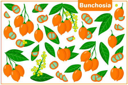 Set of vector cartoon illustrations with whole, half, cut slice Bunchosia exotic fruits, flowers and leaves isolated on white background Illustration