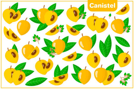 Set of vector cartoon illustrations with whole, half, cut slice Canistel exotic fruits, flowers and leaves isolated on white background Illustration