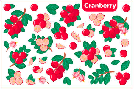 Set of vector cartoon illustrations with whole, half, cut slice Cranberry exotic fruits, flowers and leaves isolated on white background