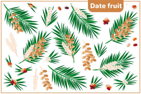 Set of vector cartoon illustrations with whole, half, cut slice Date Fruit exotic fruits, flowers and leaves isolated on white background