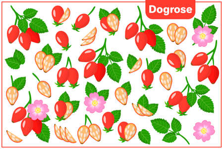 Set of vector cartoon illustrations with whole, half, cut slice Dogrose exotic fruits, flowers and leaves isolated on white background
