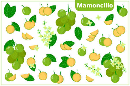 Set of vector cartoon illustrations with whole, half, cut slice Mamoncillo exotic fruits, flowers and leaves isolated on white background
