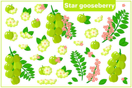 Set of vector cartoon illustrations with whole, half, cut slice Star Gooseberry exotic fruits, flowers and leaves isolated on white background