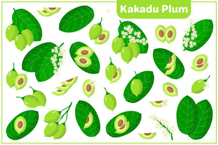 Set of vector cartoon illustrations with whole, half, cut slice Kakadu Plum exotic fruits, flowers and leaves isolated on white background Vecteurs