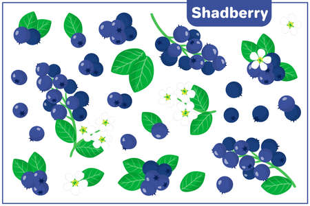 Set of vector cartoon illustrations with Shadberry exotic fruits, flowers and leaves isolated on white background