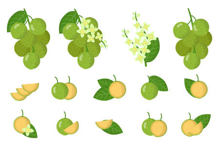 Set of illustrations with Mamoncillo exotic fruits, flowers and leaves isolated on a white background. Isolated vector icons set.