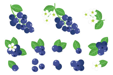 Set of illustrations with Shadberry exotic fruits, flowers and leaves isolated on a white background. Isolated vector icons set.