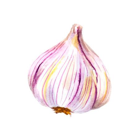 수채화 마늘은 흰색 배경에 고립