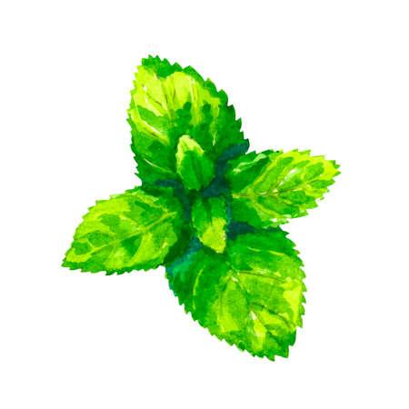 흰 배경에 고립 수채화 오레가노