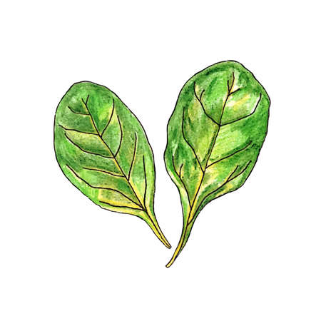 Realistic watercolor illustration spinach isolated on white background vector Ilustrace