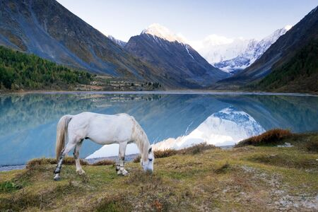 The white horse grazing in the valley of river Akem on backgroind of Mountain Belukha. Altai Mountains, Russia. Stock Photo