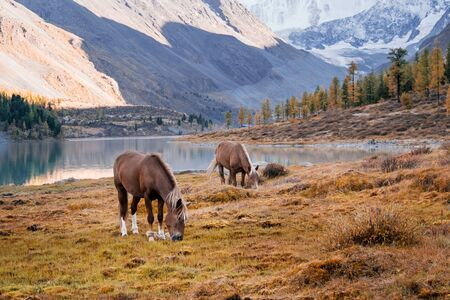 The horses grazing in the valley of river Akem on backgroind of Mountain Belukha. Altai Mountains, Russia.