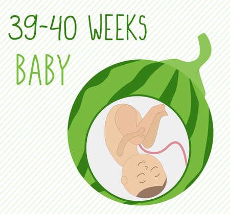 Wassermelone. Schwangerschaftsentwicklung, Größe des Embryos für 39-40 Wochen. mit Gemüse vergleichen. Menschlicher Fötus im Mutterleib 9 Monate. Vektorillustrationen auf gestreiftem Hintergrund Vektorgrafik