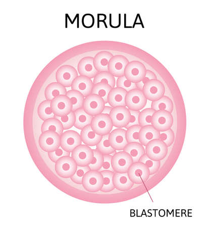 morula. embryo cell consisting of 16 cells in a solid ball