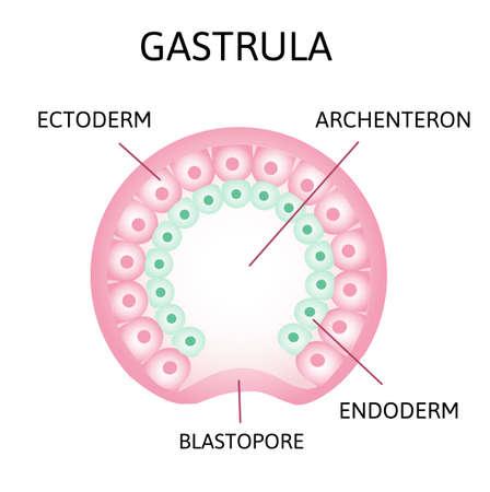 le processus de gastrulation. Vestige de blastocèle, invaginant, endoderme, ectoderme,