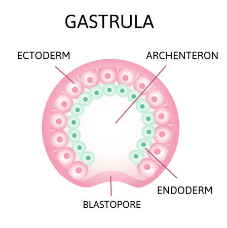 the process of gastrulation. Remnant of blastocoel, invaginating, endoderm, ectoderm,