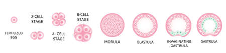 Human embryonic development, or human embryogenesis from zygota to gastrula.