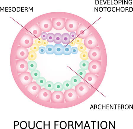 the process of nerulation. pouch formation, notochord, archenteron stage of segmentation of a fertilized ovum. Human embryonic development. Vector illustration