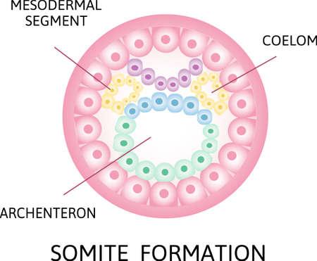 the process of nerulation. mesodermal segment, somite formation, Coelom, archenteron stage of segmentation of a fertilized ovum. Human embryonic development. Vector illustration