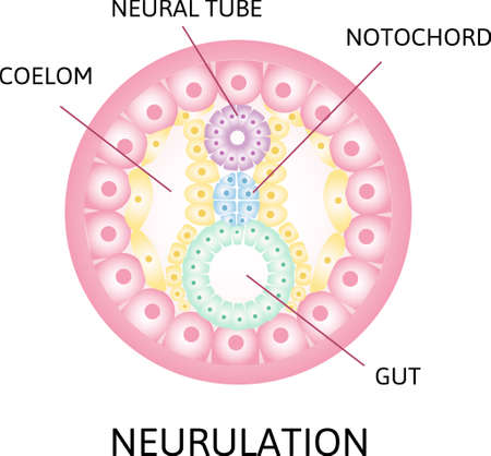 the process of nerulation. Coelom,