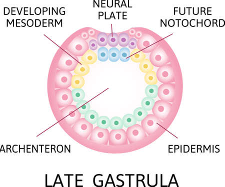 the process of nerulation. Late gasrtula. developing mesoderm, neural plate, future notochord and epidermis. Human embryonic development. Vector illustration