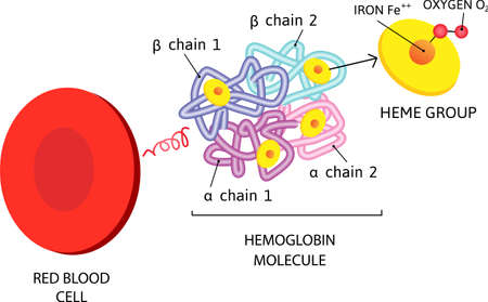 vector Medical icon erythrocyte red blood cell. hemoglobin molecule. Image red blood cell structure. Illustration flat style