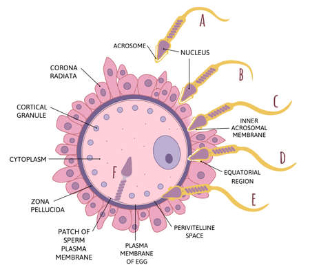Diagram sequence of events in penetration of coverings and plasma membrane of egg. Spermatozoon penetrates in ovum. Stages of fertilization. Medical vector illustration isolated on white. Illustration