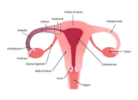 Anatomical Structure of fallopian tube. Fimbriae. Medical vector illustration marked with lines