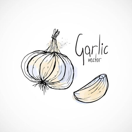 Garlic watercolor ink sketch food hand drawn vector ingredient recipes for menu 向量圖像
