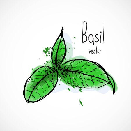 Basil watercolor ink sketch food hand drawn vector ingredient recipes for menu Vettoriali