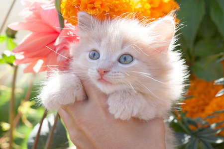 light ginger kitten in hands on the background of blooming flowers