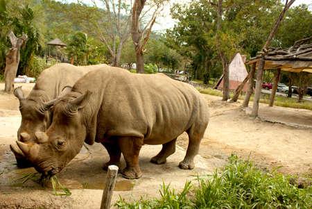 Rhino chews the grass in the Park Banco de Imagens