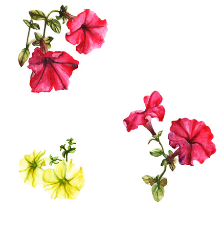 Watercolor petunias on the white background.  Pink and yellow