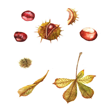 conkers: Watercolor illustration with chestnuts Illustration