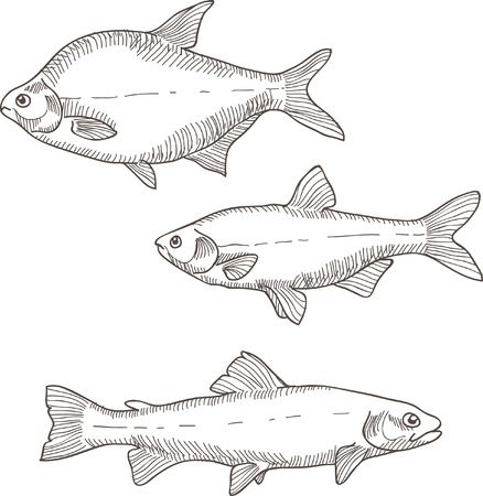 truchas: Ilustración del vector con tres peces diferentes de arte de línea de boceto. La carpa, trucha y dorada