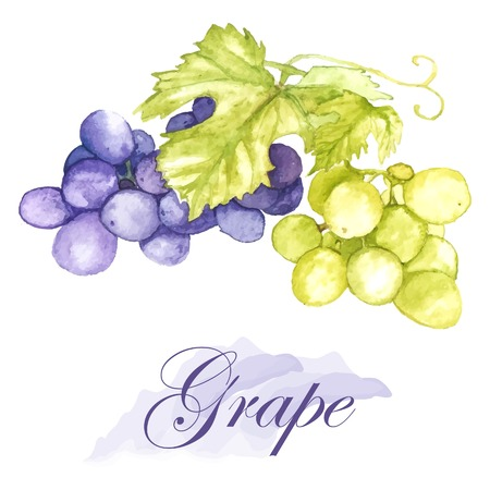 Watercolor vector  illustration of isolated grapes on the white background