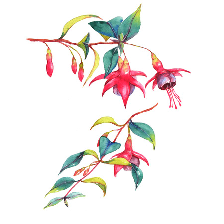 Hand-drawn watercolor  floral illustration of the colorful vibrant pink fuchsia branches. Tropical exotic flowers blossom isolated on the white background. Isolated drawing Imagens