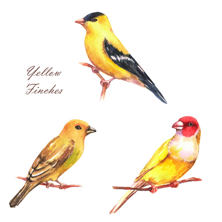 Hand-drawn watercolor illustration of three different yellow finches. Isolated birds drawings. Set of colorful decorative finches.