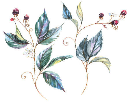 Hand-drawn watercolor illustration with natural motives: blackberry branches, leaves and berries. Drawing of two isolated decorative branches with wild berries