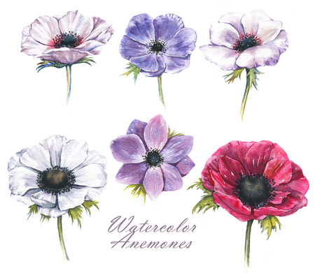 Hand-drawn watercolor illustration of the isolated anemones flowers. Tender spring drawing of violet, pink and white anemones flowers on the white background