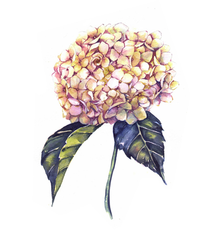 Hand-drawn watercolor white hydrangea flower drawing. Floral isolated illustration of summer blossom on the white background
