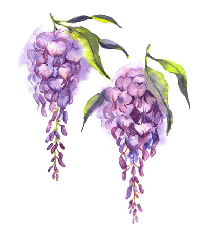 Hand-drawn watercolor violet wisteria flowers isolated on the white background. Japanese spring blossom.