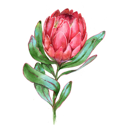 Hand-drawn watercolor illustration of red protea flower. Exotic tropical and colorful blossom of the beautiful flower. Isolated on the white background. Stock Photo