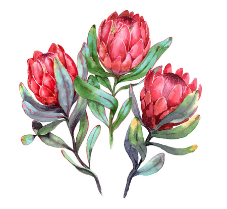 Hand-drawn watercolor illustration of three red protea flowers. Exotic tropical and colorful blossom of beautiful flowers. Isolated on the white background.