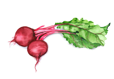 Hand drawn watercolor illustration of red beet with green leaves isolated on the white background