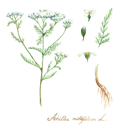 Hand-drawn watercolor botanical illustration of the yarrow plant, flowers, leaves and root. Milfoil drawing isolated on the white background. Medical herbs illustration